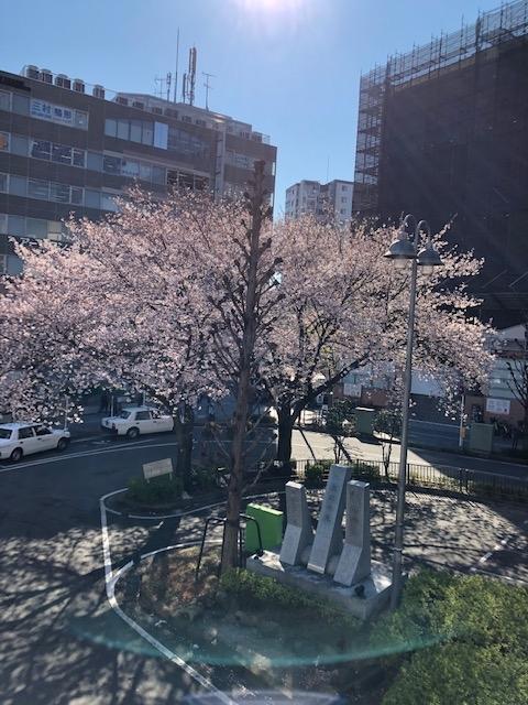 桜 満開🌸2019